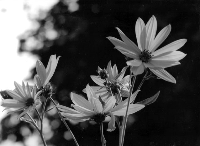 Summer Flowers by Natasha Marques - B & W Photograph